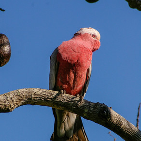 Does Your Galah Parrot Need a Diet?