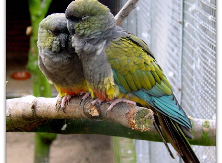 Do Conure Parrots Have Tunnel Vision?