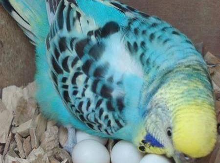 Egg Binding in Female Parrots