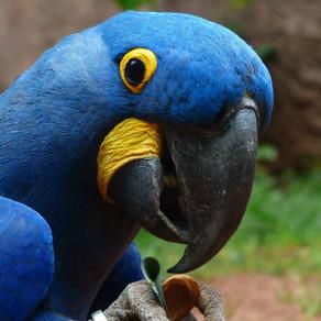 A Lear's Macaw or a Hyacinth?