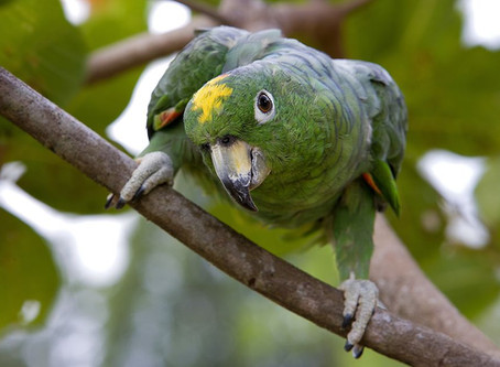 Mealy Amazon Parrot with California Surfer Attitude?