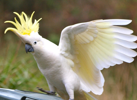 Cockatoo Crest Counseling Class 101