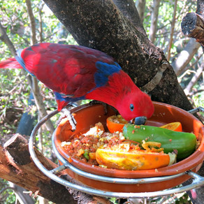 "What's a ""Frugivore?"" Ask an Eclectus Parrot."