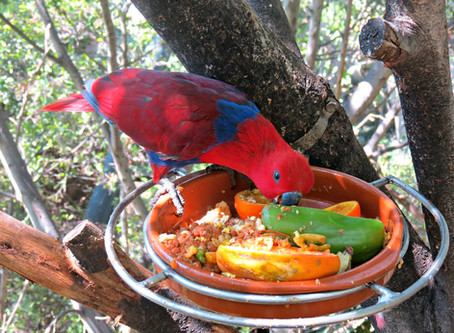 """What's a """"Frugivore?"""" Ask an Eclectus Parrot."""
