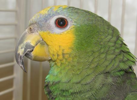 Orange-Winged Amazon Parrots & Hormones