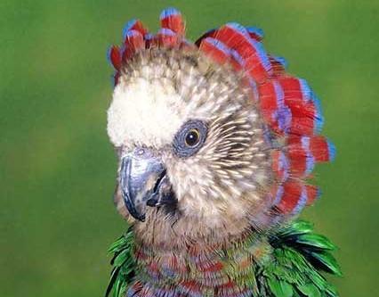 Hawk-headed Parrot - A Fan for Summer Months?