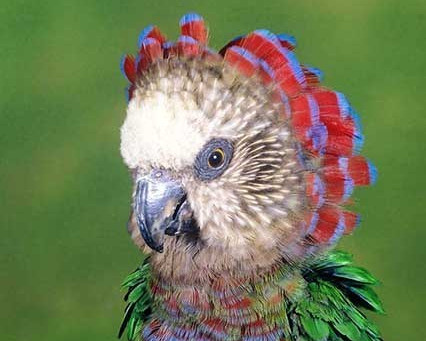 Hawk-headed Parrot - A Fan for Summer Months?