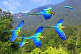 parrots-flying-in-amazon.jpg