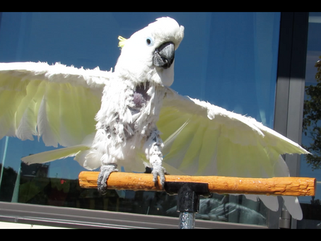Moody Molting Parrot?