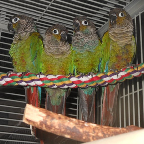 A Side of Ants For Holiday Meals With Your Green-Cheeked Conure?