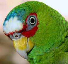 Are Male White-Fronted Amazon Parrots a Little Edgy?