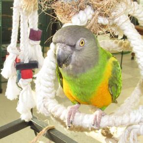 Senegal Parrot Snacks