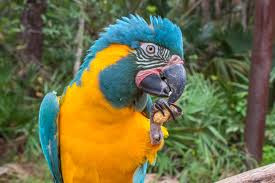 Let Them Eat Fruit! Blue-Throated Macaws...