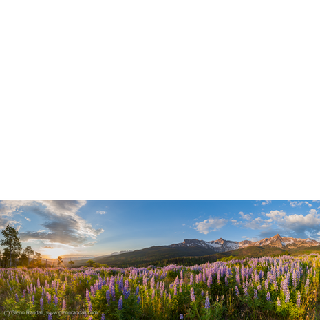 Lupine Panorama