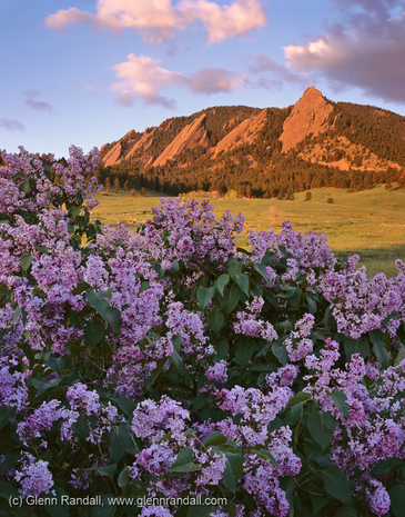 Lilacs and the Flatirons