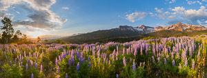 Wolcott Mountain, Mears Peak, Peak 13,134 and lupine in the Mt. Sneffels Wilderness at sunrise, Colorado