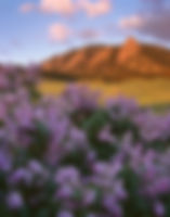 Lilacs and the Flatirons, Boulder Mountain Parks, Colorado