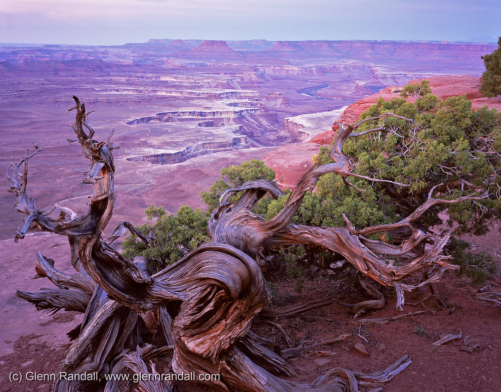A weathered juniper and the Green River Overlook glow pink at dawn, Canyonlands National Park, Utah.
