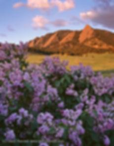 Lilacs and the Flatirons, Boulder Mountain Parks, Colorado