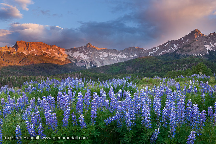 Lupine and the Sneffels Range, Mt. Sneffels Wilderness, Colorado