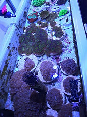 MarineRok Coral-2.JPG