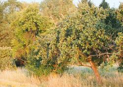 Apfelbaum Kirberg