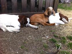 barnyard goats