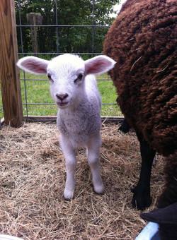 barnyard lamb