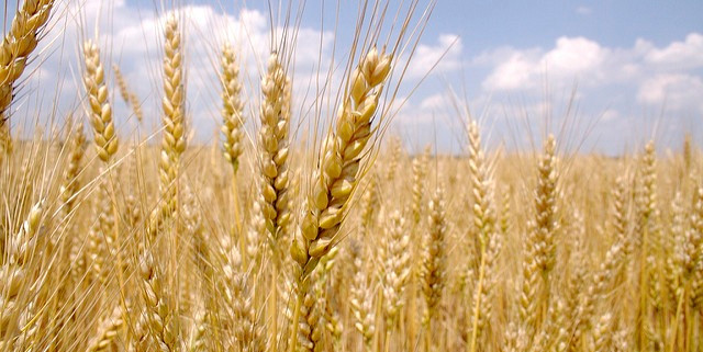 Wheat Pic.jpg
