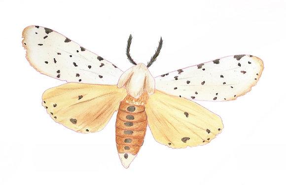 Salt Marsh Moth
