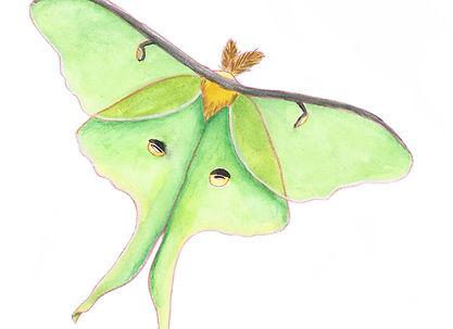 luna moth sticker.jpg