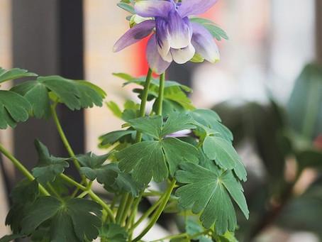 オダマキ(苧環)の花
