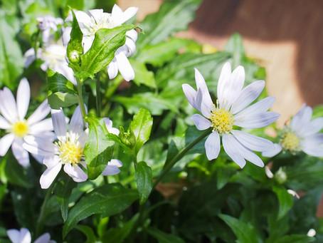 ミヤコワスレが咲きました