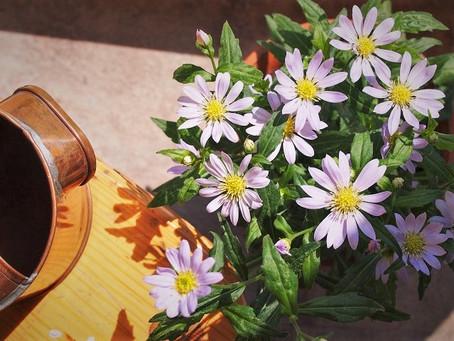 ミヤコワスレの花