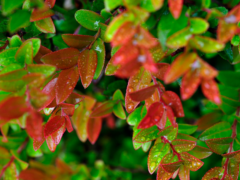 PNW Plants Evergreen Huckleberry -  Portland Blossom Landscape Design Construction Maintenance - blossompdx.com