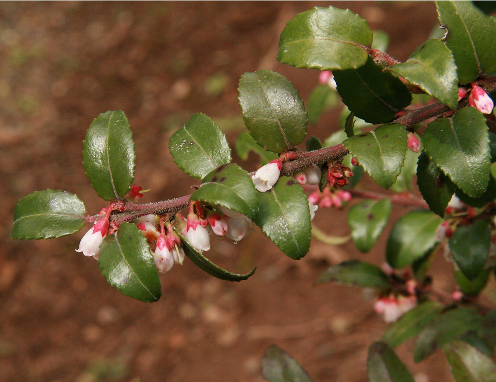 PNW Plants Evergreen Huckleberry - Portland Blossom Landscape Design Maintenance Construction - blossompdx.com