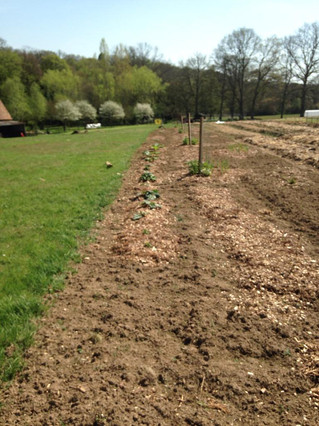 plantation de rhubarbe en agroforesterie