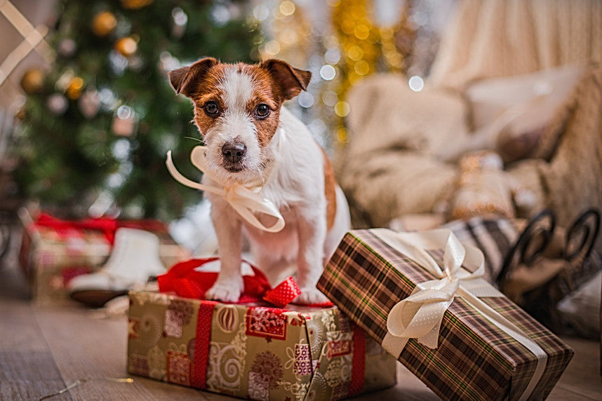 Jack Russell dog at the Christmas tree 2