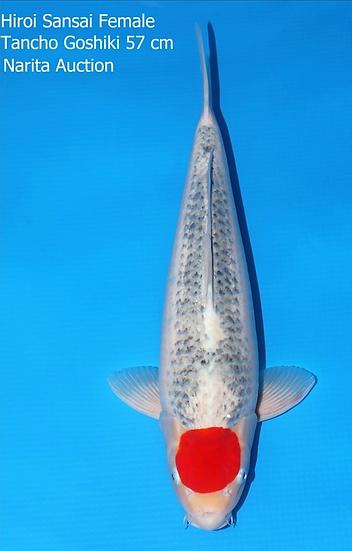 VHQ Tancho Goshiki - 57cm - Sansai