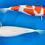 Thumbnail: VHQ Female Tancho and Kohaku - Sansai - 55cm - SFF Bloodline