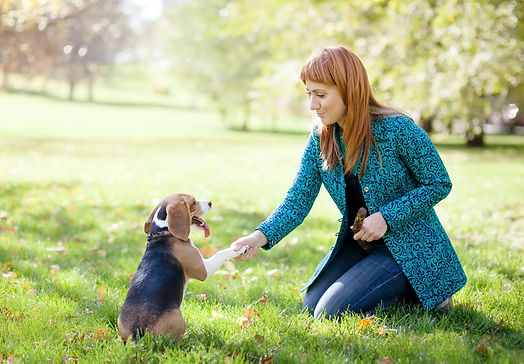 training beagle dog outside