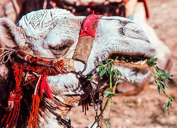 Desert Camel Portrait Head Colorful