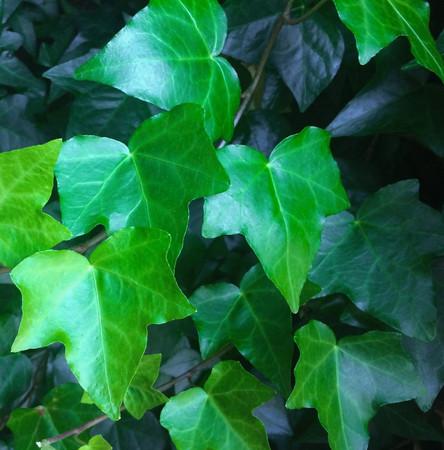 ivy-1409871_1920_edited.jpg