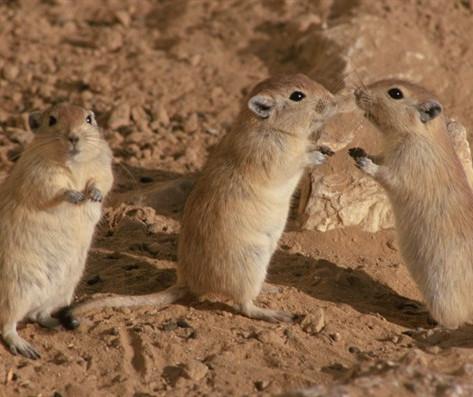 גם עכברים מתמודדים עם אתגרים חברתיים