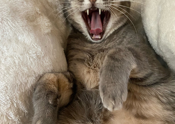 Yawning cats