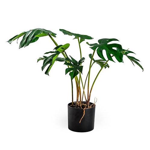 Ornamental Potted Split Philo Leaf Plant