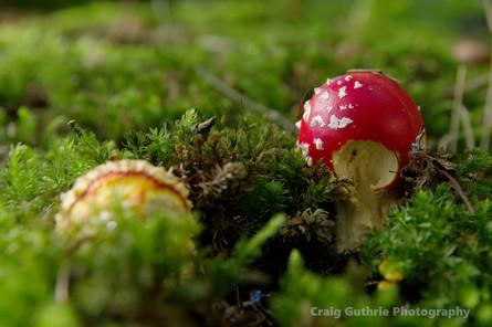 Fly Agaric Mushroom.jpg