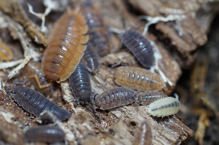 "Porcellio scaber ""Lottery Ticket Morph Mix"""