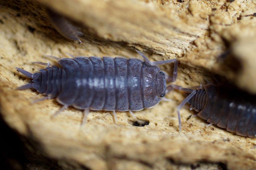 """P. pruinosus """"Blue"""""""