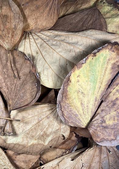 1 Gallon Hong Kong Orchid Leaf Litter